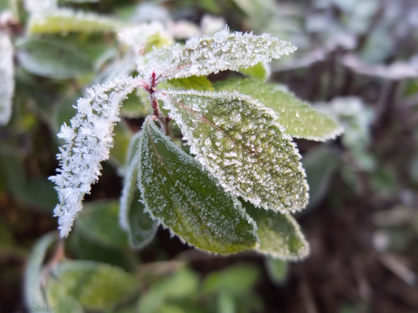 آیا گیاهانی که دچار سرمازدگی می شوند با راهکارهای تغذیه ای قابل برگشت هستند؟