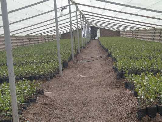 تولید ۲۰ هزار اصله نهال پسته در مرکز تحقیقات و آموزش کشاورزی و منابع طبیعی آذربایجان شرقی